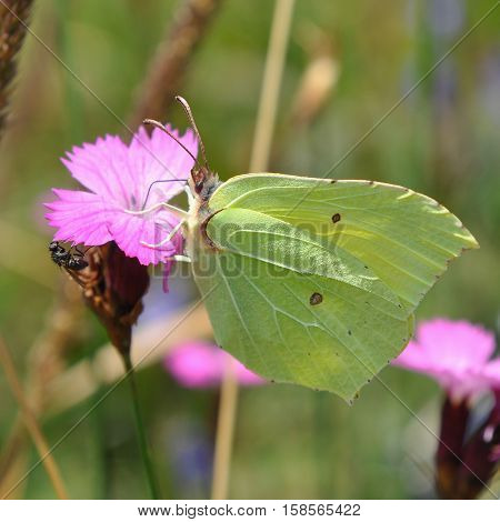 Common brimstone butterfly,Mala Fatra mountains in Slovakia