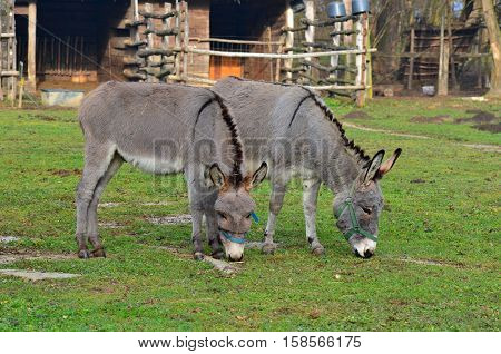 two funny donkeys on pasture in a Hungary farm