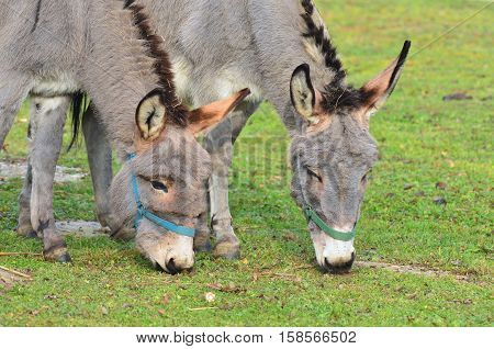 two funny donkeys on pasture here in Hungary