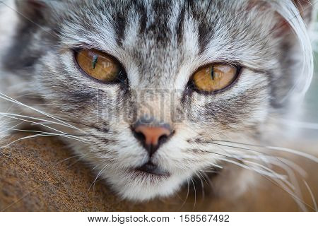 Grey tabby kitten with yellow eyes lying on a brown rug.