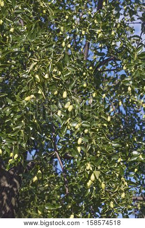 Jujube tree with fruits (Ziziphus jujuba). Called Red date Chinese date Korean date and Indian date also