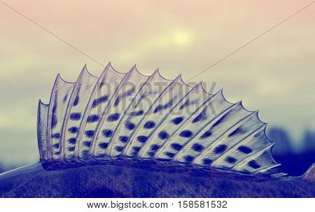 Dorsal fin of a walleye (pike-perch) close-up, toned image