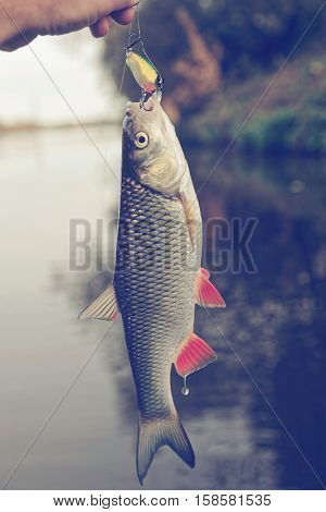 Chub with plastic bait in mouth, lure is of a noname firm, design altered in graphic editor, toned