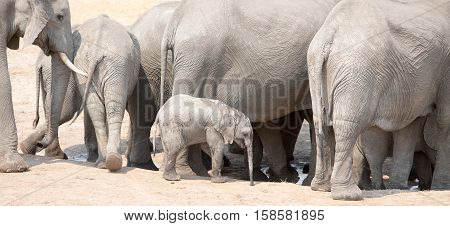 A small elephant calf amongst a herd of fully grown elephants around a waterhole in Hwange National Park, Southern Africa