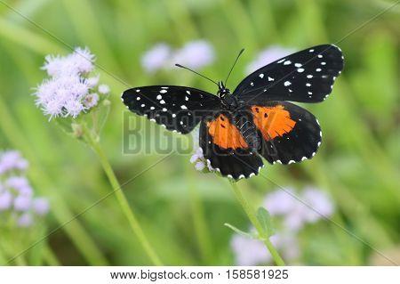 A Crimson Patch butterfly (Chlosyne janais) on Blue Mistflower