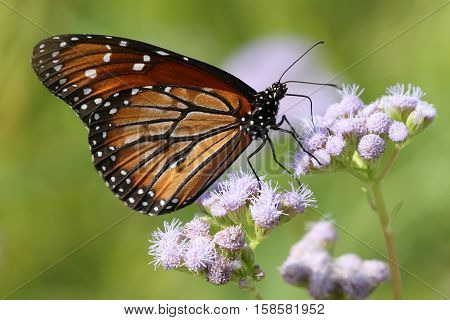 A Soldier Butterfly (Danaus eresimus) on Blue Mistflower