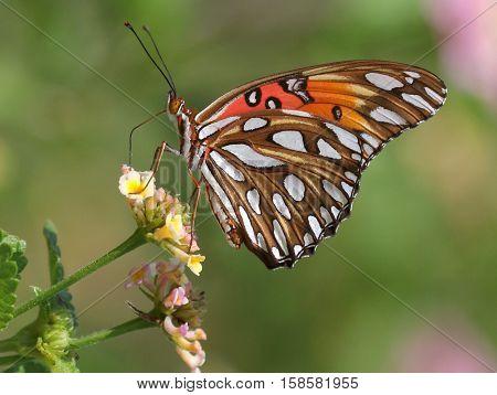 A Gulf Fritillary Butterfly (Agraulis vanilla) on Lantana flowers
