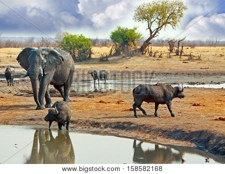 Busy waterhole with elephant and buffalos taking a drink with a natural cloudy, stormy sky in Hwange National Park, Zimbabwe, Southern Africa