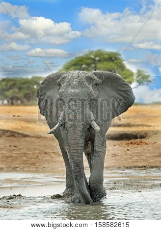 Full Framed Portrait of a large bull elephant standing n a waterhole, with a vibrant blue cloudy sky background in Hwange National Park, Southern Africa