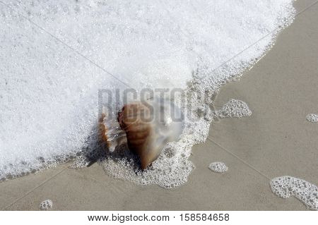 Cannonball Jellyfish in the Surf on the Beach