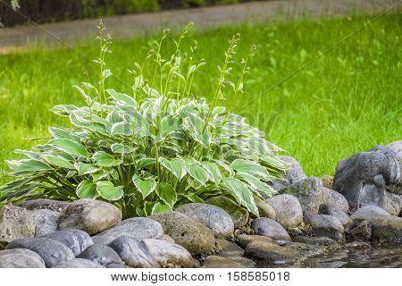 Hosta - an ornamental plant for landscaping park and garden design