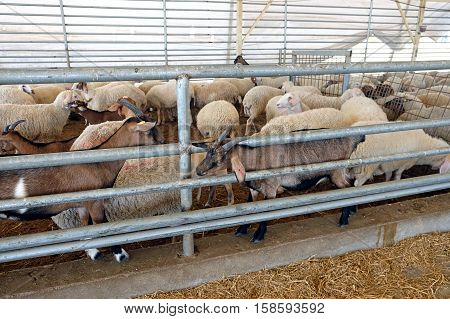 Many sheep in the corral on the livestock farm (Lat. Ovis aries) poster