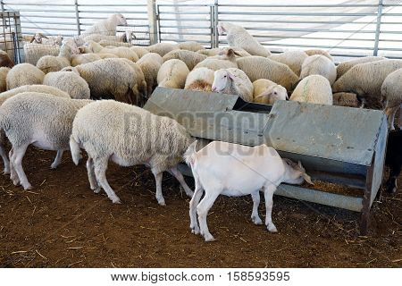 Sheep in the corral on a farm eating hay from the manger