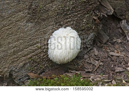 Lion's mane mushroom (Hericium erinaceus). Called Bearded tooth mushroom Satyr's beard Bearded hedgehog mushroom pom pom mushroom and Bearded tooth fungus also