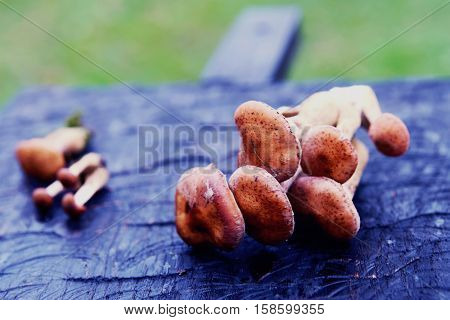 Bunches of honey mushrooms on black wooden board, paleo diet, toned image