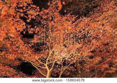 Nightview of autumn leaves of Mount Oyama in Kanagawa, Japan.