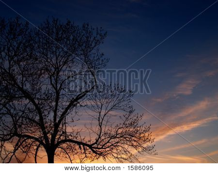 Trees: Black Walnut In Sunset