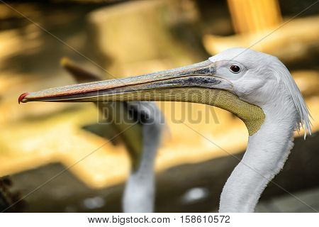 beautiful colorful portrait of a Pelican close