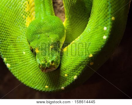 Green tree python, Morelia viridis. rain forest snake hanging on the branch