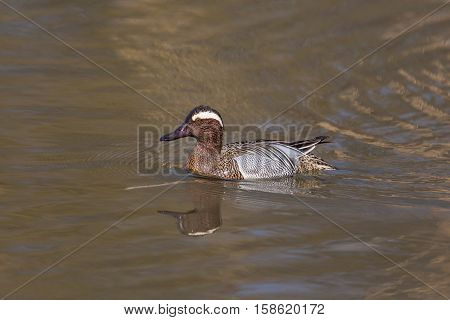 mirrored male garganey duck (Anas querquedula) swimming