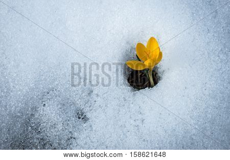 Image of fresh yellow crocus in the snow melting Greece