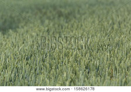 Details of natural field of a green wheatfield