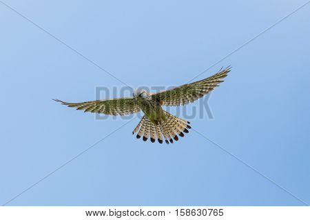 Common kestrel (Falco tinnunculus) during stationary flight in blue sky