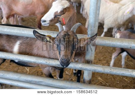 Sheep in the corral on the livestock farm (Lat. Ovis aries)