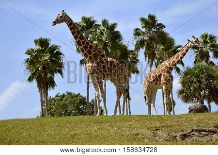 A pair of Giraffe Latin name Giraffa camelopardalis