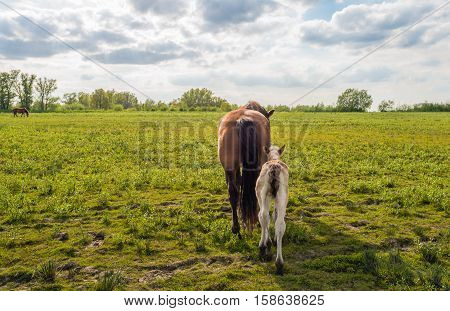 Backlit image of a Dutch landscape in springtime with the rear sides of mare and her foal walking away from the photographer.