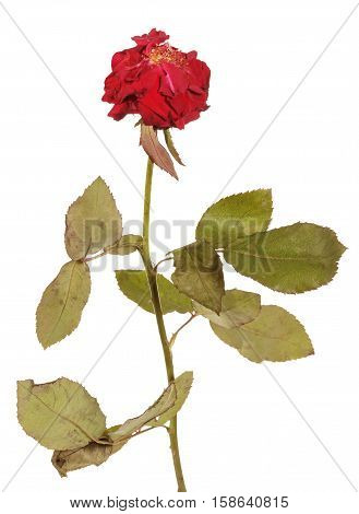 Faded, languid rose with fallen petals isolated on white background