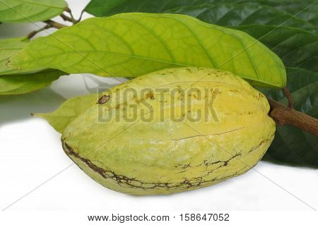 cocoa fruits with leaf on white background