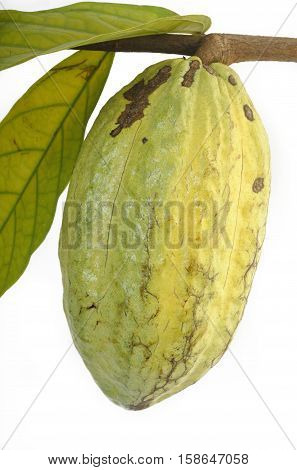 hanging cocoa pods on a white background
