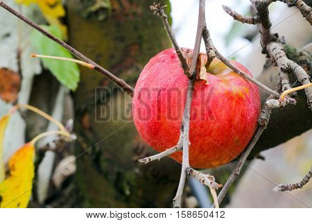 picture of an apple forgotten in a harvest Apple Orchard in november.morning shot