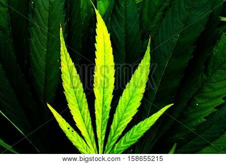 Ganja dark and fresh lime green colored leaves background picture