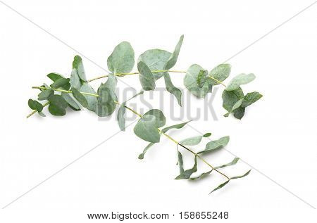 Green eucalyptus branches on white background