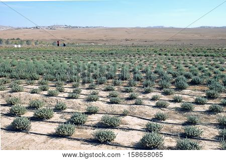 Bedouins grow wild aromatic herbs in experimental field in Atir settlement in the Negev desert Israel