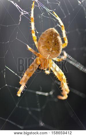 Garden Spider aka Cross Spider (Araneus diadematus)