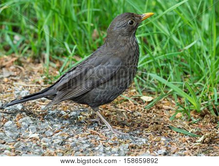 Blackbird hunting for worms amidst long green grass