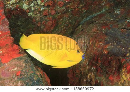 Tropical fish: Three-Spot Angelfish