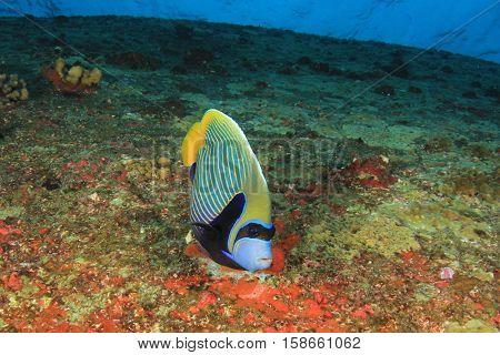 Tropical fish: Emperor Angelfish on underwater coral reef
