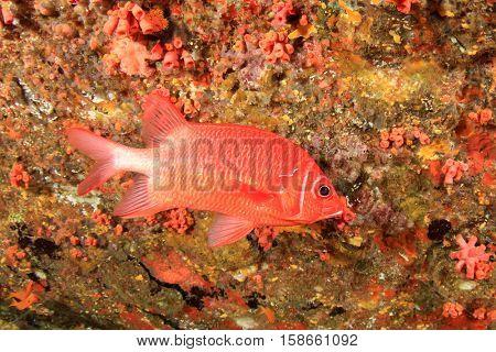 Red fish: Sabre Squirrelfish