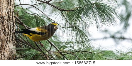 Yellow branded Evening Grosbeaks (Coccothraustes vespertinus)  on a deck having seed lunch. Heavyset finch in northern coniferous forests, adds splash of color to winter bird feeders every few years.