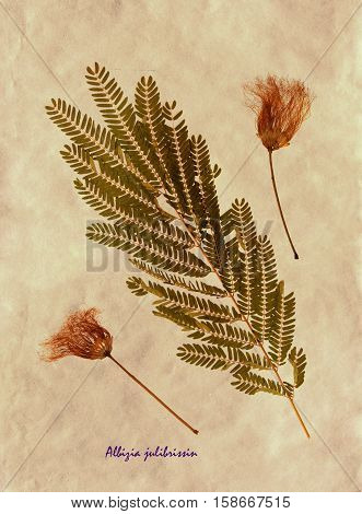 Herbarium from pressed and dried leaves and flowers of Persian silk tree on antique brown craft paper with Latin subscript Albizia julibrissin.