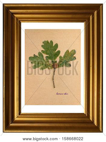 Herbarium from pressed and dried leaf of pedunculate oak with Latin subscript (Quercus robur) in the frame on white background.