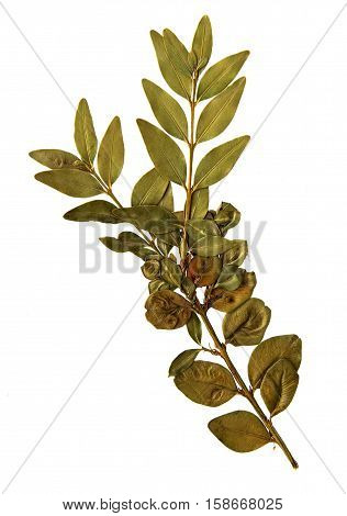Pressed and dried leaf of Common Box (Buxus sempervirens) on white background for use in scrapbooking floristry (oshibana) or herbarium.