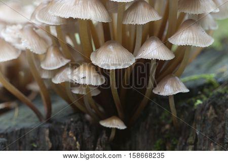 Mushrooms (Mycena inclinata) on a stump in a green moss