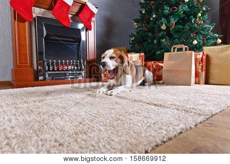 The Yawning  Beagle On The Carpet With Christmas Gifts In Front Of The Fireplace In An Empty Room