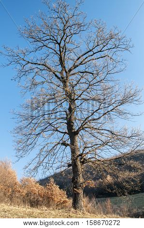 Big defoliated tree on late autumn landscape background in clear sunny day