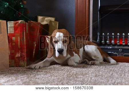 A Lone Beagle On The Carpet With Christmas Gifts In Front Of The Fireplace In An Empty Room